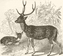 INDIA: The Indian spotted deer, antique print 1894